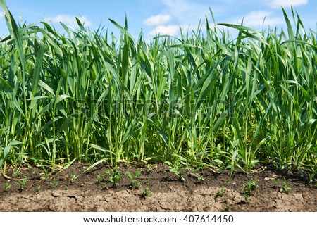 young sprouts of wheat in a field close view with wind, blue sky, bright spring landscape, soil - stock photo