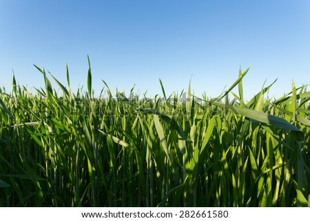 Young sprouts of wheat in the field