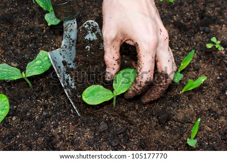 Young Squash plants being transplanted - stock photo