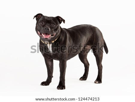 Young staffordshire bull terrieron white background