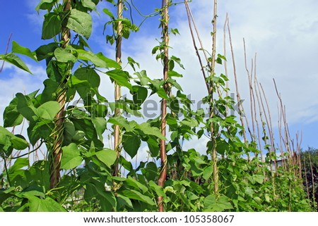 Pole Beans Stock Images Royalty Free Images Amp Vectors