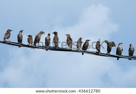 Young starlings on the wire.