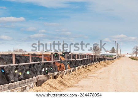 Young steers being fattened for beef at a feedlot in central Colorado, USA. - stock photo