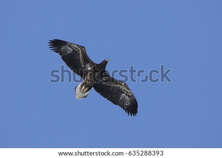 young Steller's sea eagle hovering over the ocean on a sunny winter day