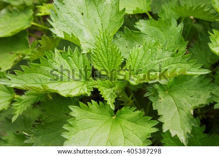 Young stinging nettle (urtica dioica) in garden. Healthy concept. - stock photo
