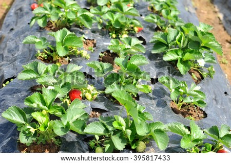 Young strawberry in a garden bed on a strawberry farm.