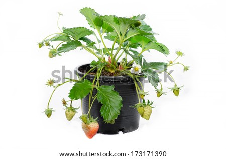 young strawberry plant in a black plastic pot isolated on white background - stock photo