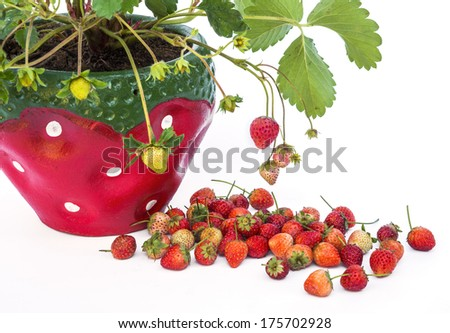Young strawberry plant in a strawberry pot isolated on white bac - stock photo