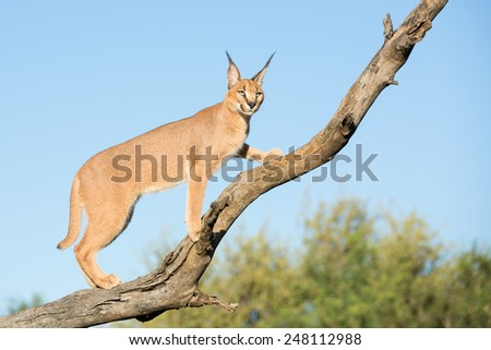 Young sub adult Caracal (Felis caracal) in a tree in South Africa, Kruger Park - stock photo