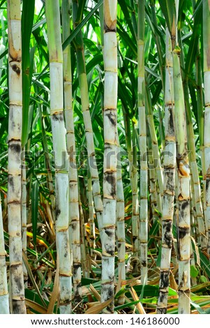 Young sugar cane field from Thailand country - stock photo