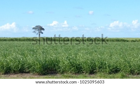Young sugar Cane Fields in Queensland, Australia