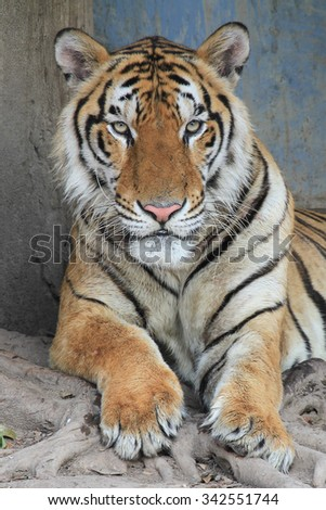 young sumatra Tiger's face Staring with ferocious eyes discreetly angry  - stock photo