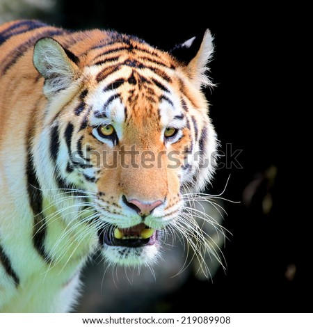 young sumatra Tiger's face Staring with ferocious eyes discreetly angry on black background. - stock photo