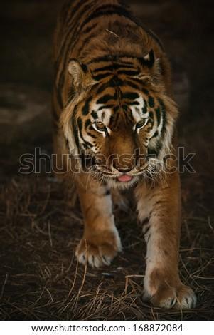 Young sumatran tiger is walking  - stock photo