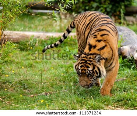 Young Sumatran Tiger Sniffing Something in Wet Grass Panthera Tigris Sumatrae - stock photo