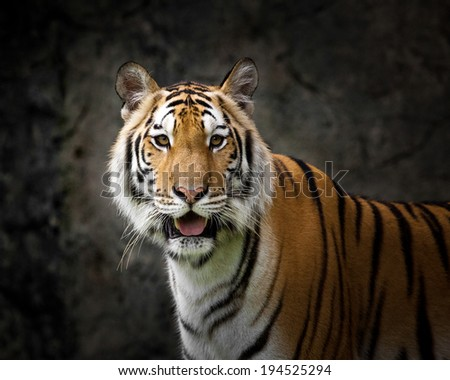 young sumatran tiger walking out of shadow/Tiger - stock photo