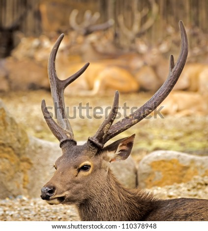 young swamp deer or Rucervus - stock photo
