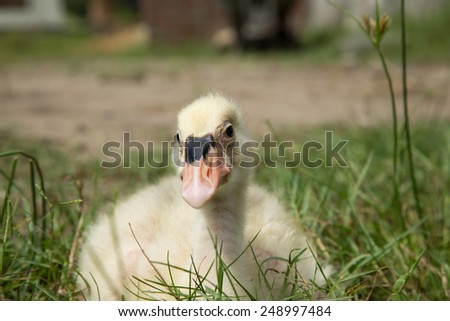 Young swan in green field. - stock photo