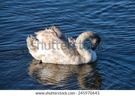 young swan in the lake