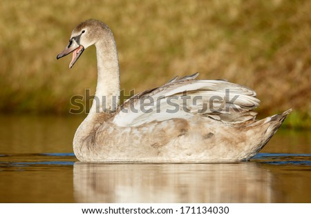 Young swan in warm light - stock photo