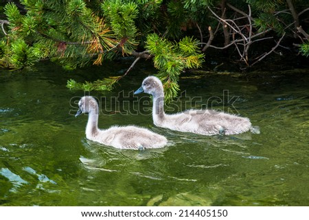 Young swans swimming in the cristal lake - stock photo
