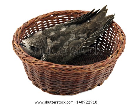 Young swift bird sleep in basket on a white background.   - stock photo