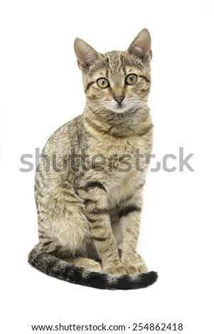 Young tabby cat, brown European short hair, isolated on white background - stock photo