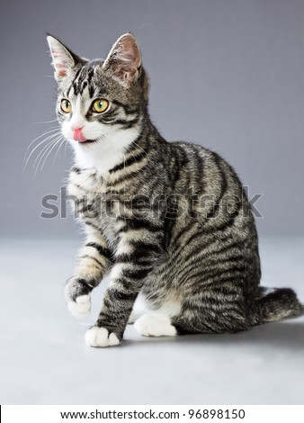 Young tabby cat isolated on grey background - stock photo