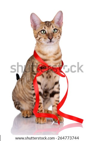 Young tabby cat with a red ribbon sitting on a white background. Toyger kitten breed. - stock photo