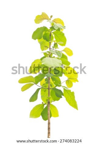 Young teak tree isolated on white background - stock photo