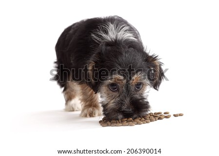Young Terrier Mix eats dog food in front of a white background - stock photo