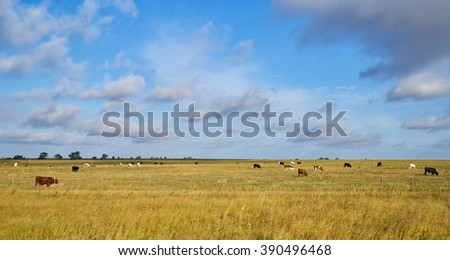 Young Texas Longhorn Cow with white and brown markings - stock photo