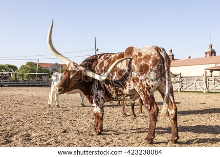 Young Texas Longhorn steer with white and brown markings - stock photo