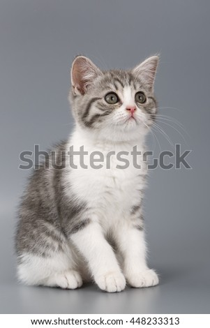 Young the striped Scottish cat on gray background.