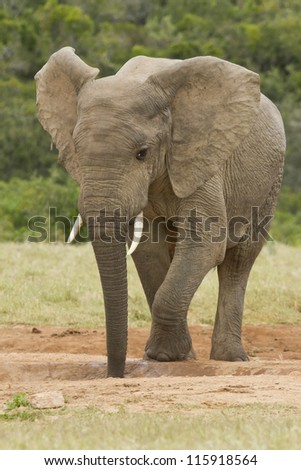 Young thirsty elephant standing and drinking at a water hole - stock photo