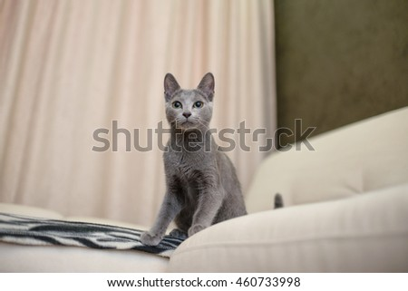 Young thoroughbred pedigreed cat. Breed Russian Blue