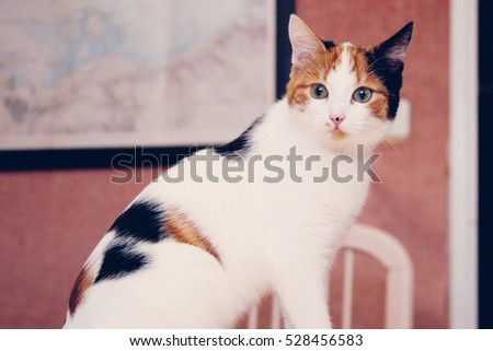Young three-colored cat sitting on the table