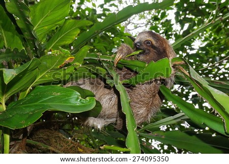 Young three-toed sloth eating a leaf in the jungle of Costa Rica, wild animal, Central America - stock photo