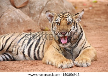 young tiger lying and feeling relax