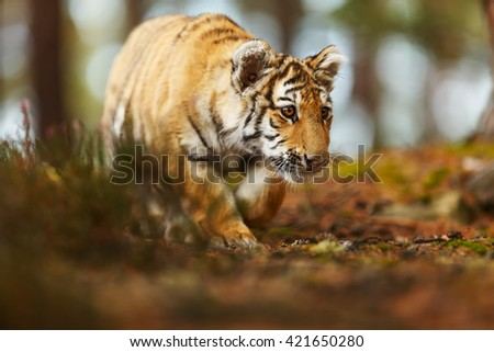 Young Tiger prowling for prey in the wild. Tiger skin tiger masks beautifully with its surroundings. Tiger keeps things in great detail.