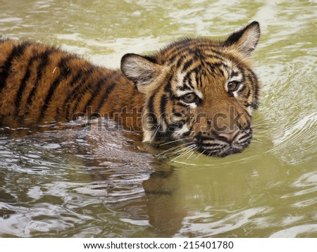 Young Tiger Swimming