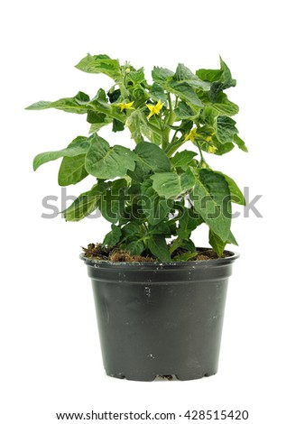 Young tomato plant in pot on a white background - stock photo
