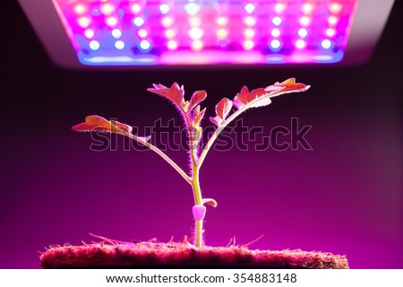 young tomato plant under LED grow light - stock photo