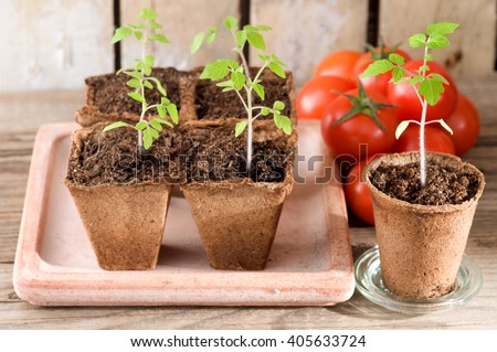 Young tomato plants and ripe tomatoes on weathered wood - stock photo