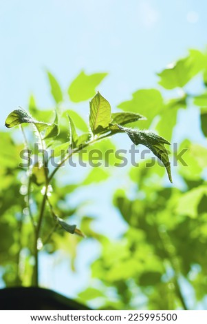 young tomato plants growing at springtime