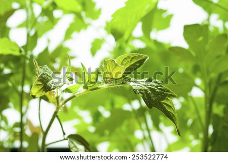 young tomato plants growing in hot house