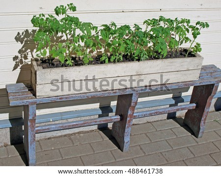 Young tomato plants growing in wooden box on bench outdoor.