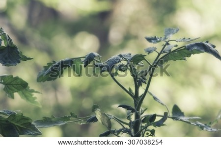 Young tomato plants growing out of soil - stock photo