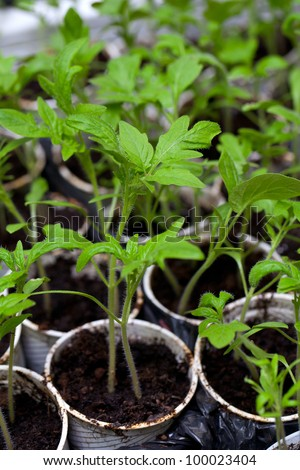 young tomato plants in plastic pots - stock photo