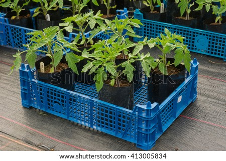 Young tomato plants in pots ready for planting - stock photo